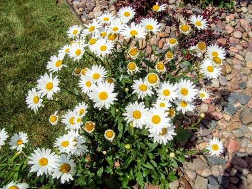 chamomile journey flowers