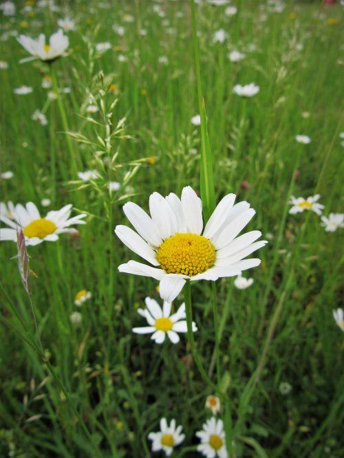 chamomile wild flower