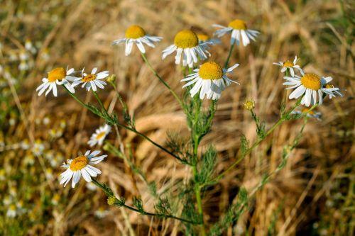 chamomile medicinal herb medicinal plant