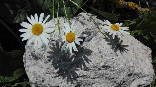 chamomile summer june