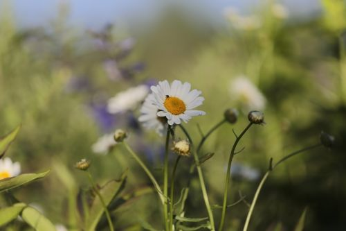 chamomile flowers nature
