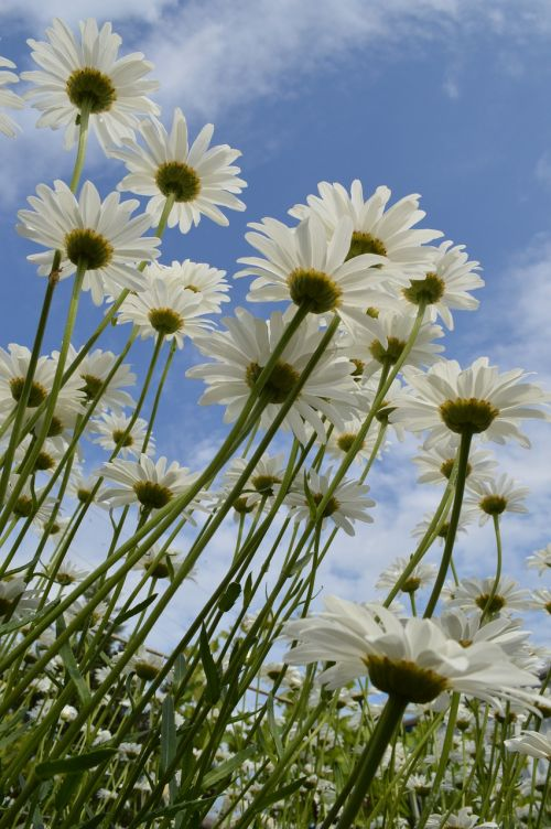 chamomile daisy flowers