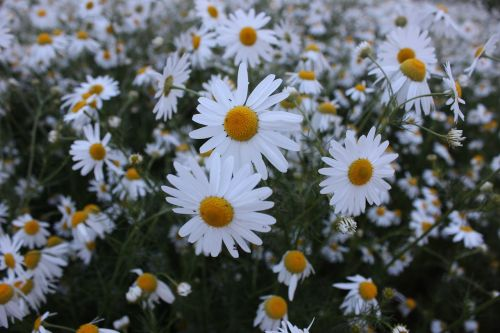 chamomile summer flowers