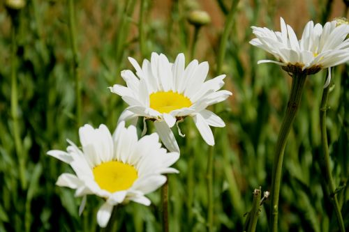 chamomile summer nature