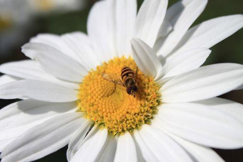 chamomile camomile flower