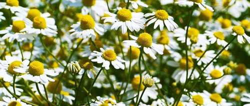 chamomile  flowers  blütenmeer