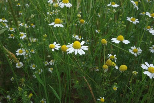 chamomile  blossom  bloom