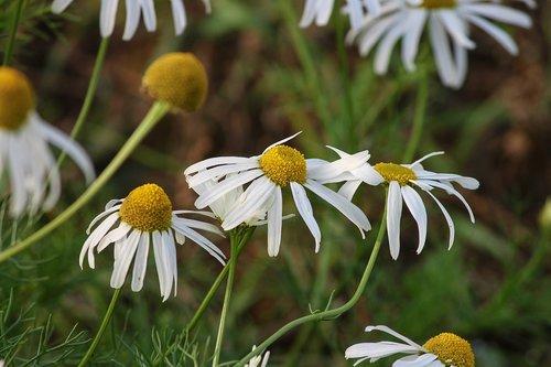 chamomile  chamomile blossoms  medicinal plant