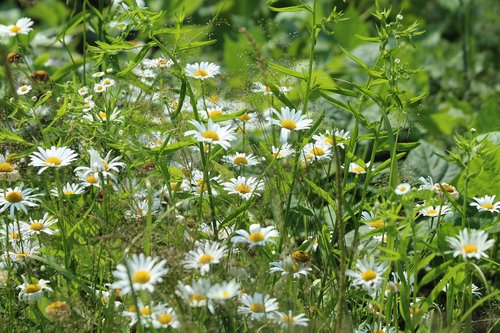 chamomile  flowers  nature