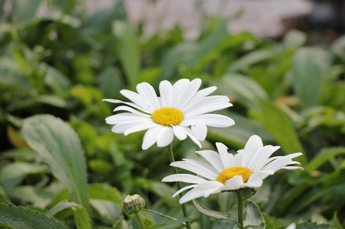 chamomile  guess  flowers