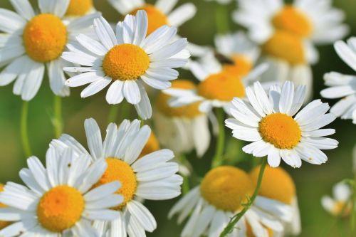 chamomile chamomile flower medicinal herb