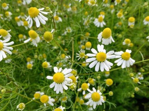 chamomile  camomile  herbal