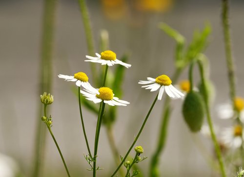 chamomile  flowers  early summer