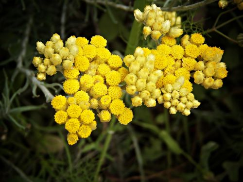 chamomile flower medicinal