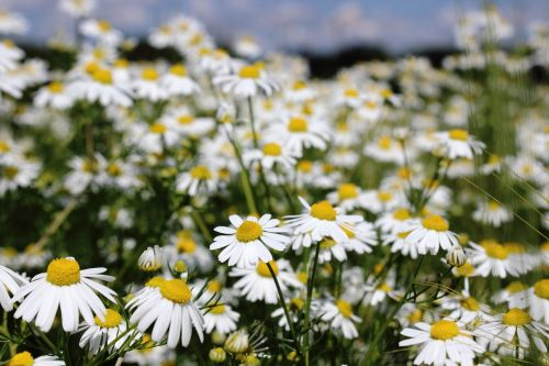 chamomile chamomile blossoms medicinal herb
