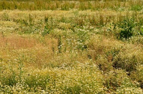 chamomile field herbal medicine