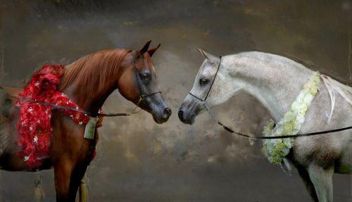 champions arabian horse arabian horses