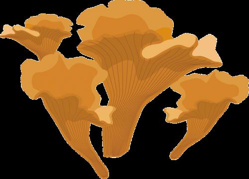 chanterelle chantarelle fungus