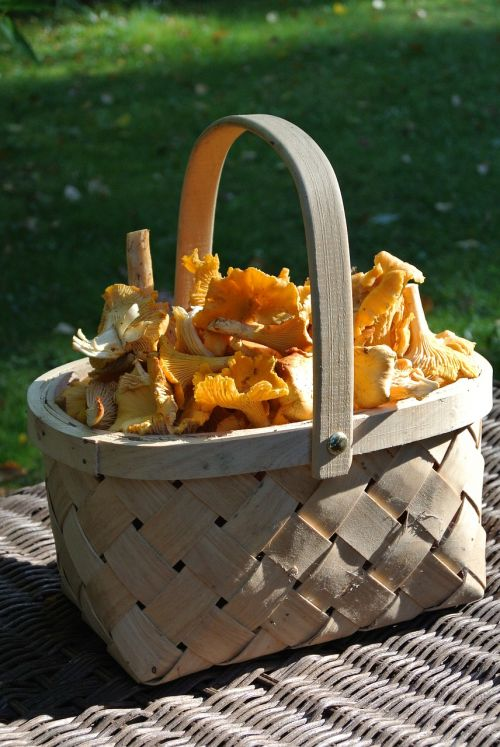 chanterelle yellow mushroom
