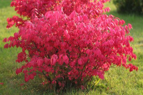 angliškai sparnuotas nykštukas,krūmas,raudona,kritimas,rudens lapai,lapija,raudonas krūmas