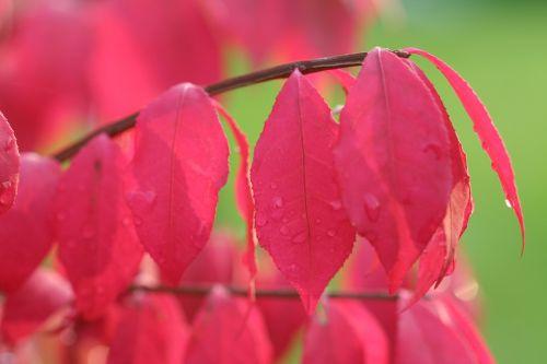charcoal winged dwarf red leaf fall