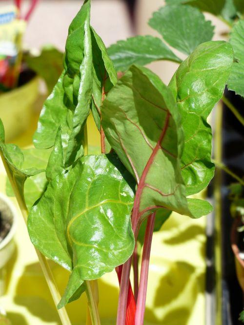 chard vegetables vegetable plant