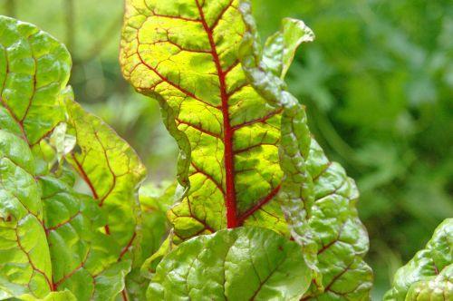 chard food plant