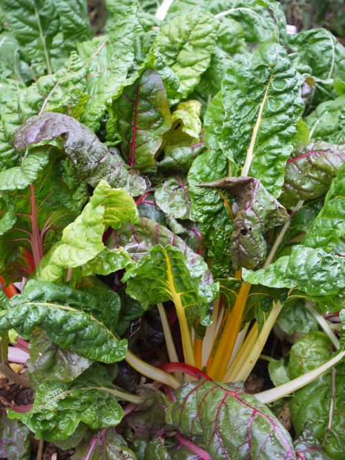 chard vegetable patch healthy