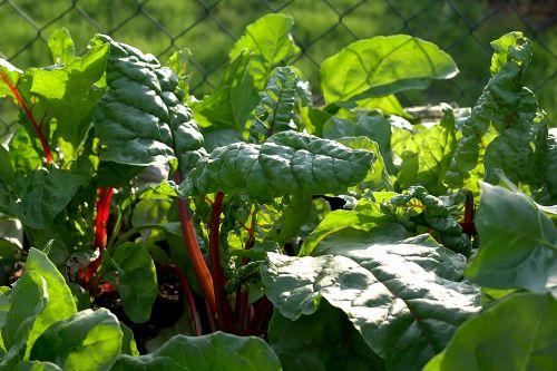 chard leaves vegetables