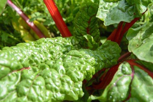 chard  garden  vegetables