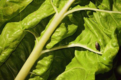 chard  vegetable  leaf