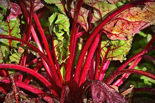 chard  vegetable  plant