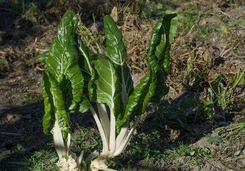 chard  garden  vegetable