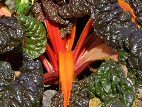 chard colorful vegetables