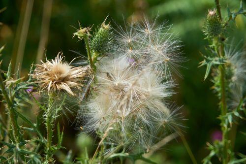 drebulės, gėlės, augalas, karpiai, vata, gamta, flora, vasara, sezonai, lengvumas, vėjas, drakonas ir vata
