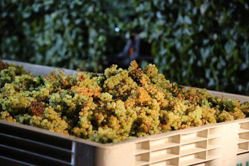 chardonnay wine harvest