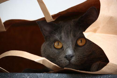 chartreux cat animals