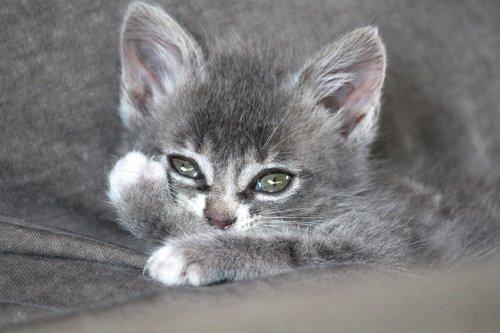 chartreux  hybrid  cat