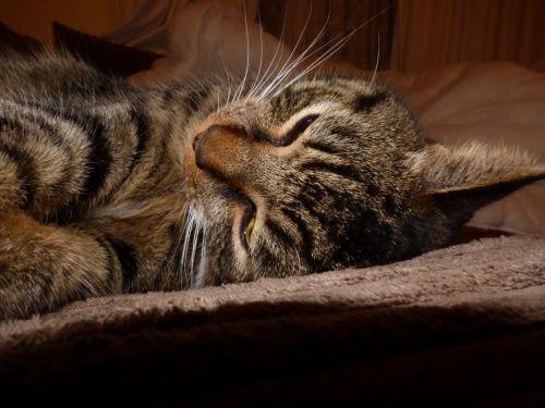 Cat Sleep Train