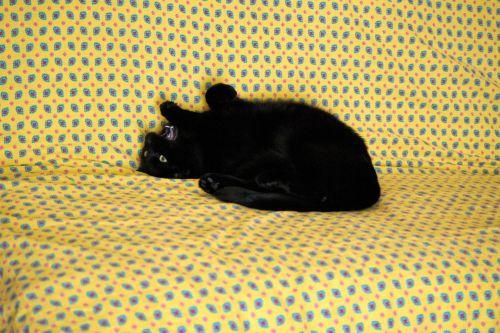 katė, kačių, gyvūnas, katė & nbsp, nap, juoda & nbsp, katė, naminis gyvūnėlis, katė miego, gyvūnai, katė ant sofos