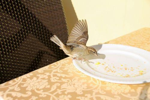 įžūlus,žvirblis,pusryčiai,garda,žvirbliai,paukščiai,maistas,plumėjimas,vasara,stalas,saulės šviesa,gyvūnų pasaulis,maža paukštis,vagis