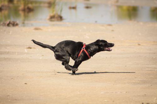 cheerful dog runs