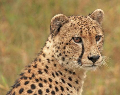 cheetah cheetah head wildlife