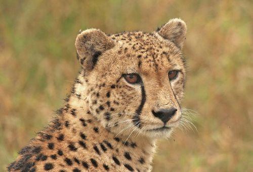 cheetah cheetah head big cat