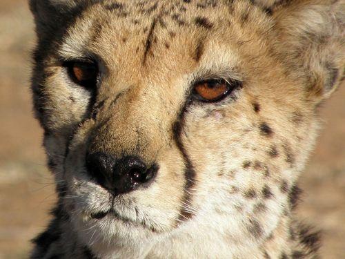 cheetah animals close