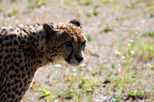 cheetah animals savannah