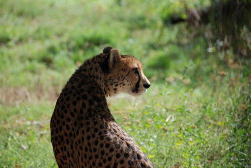 cheetah zoo wildcat