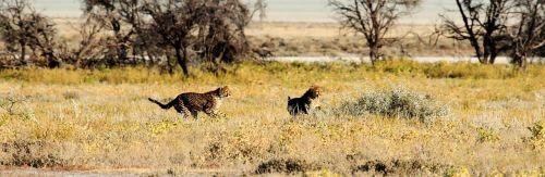 cheetah etosha namibia