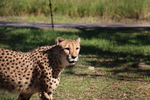 cheetah zoo adventure world