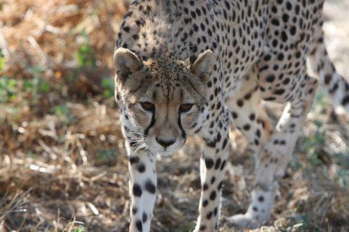 cheetah namibia wild